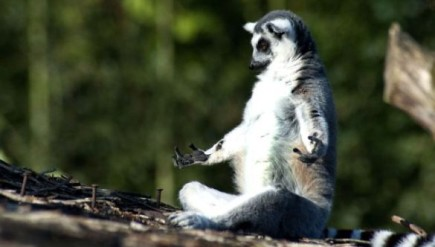 yoga-lemur-meditation