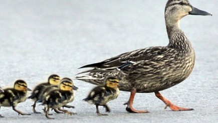 ducklings-following-mother-m-1