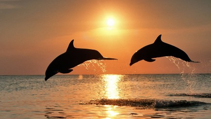 dolphin_at_sunset_wallpaper-29154